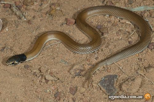 Curl snake (Suta suta) at the Australian Reptile Online Database